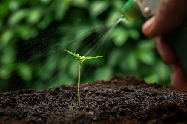 Una pequeña planta de plántulas de cannabis en la etapa de vegetación plantada en el suelo al sol, un hermoso fondo, ecepciones de cultivo en una marihuana interior con fines médicos.