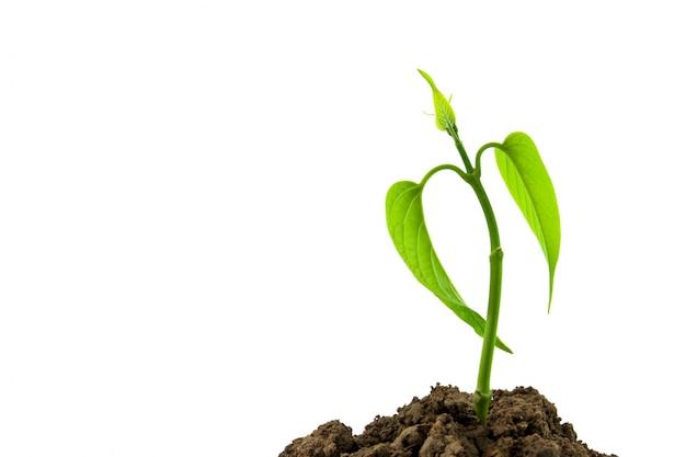 Pequeña planta verde esperanza cultivada