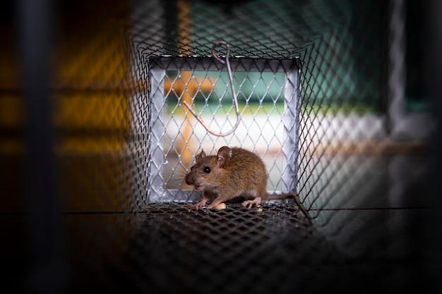 Una pequeña rata atrapada en una trampa para ratones