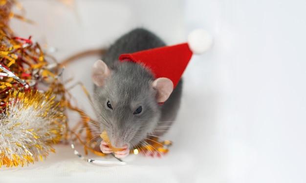 Pequeña rata gris linda con un sombrero de año nuevo comiendo queso con decoraciones navideñas