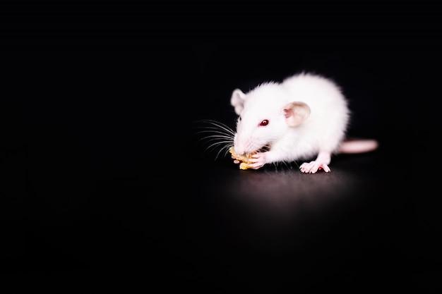 Pequeña rata linda que come una galleta, rata del animal doméstico que come un convite. mascota de roedor esponjoso con pequeñas manos sosteniendo alimentos.