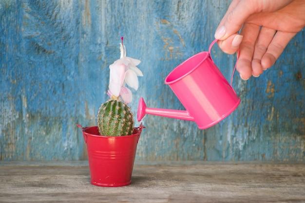 Pequeña regadera rosa en una mano femenina regando cactus. fondo de madera vieja