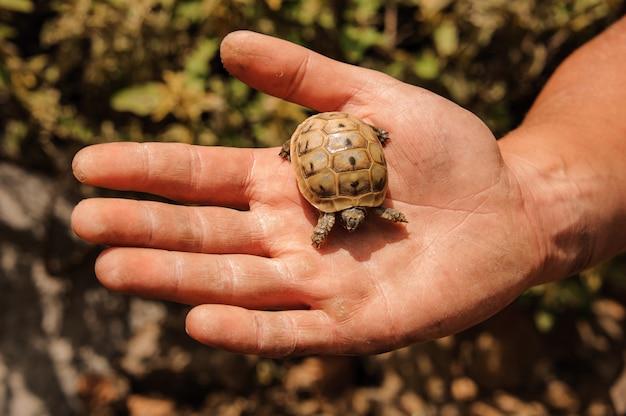Pequeña tortuga en una mano de hombre