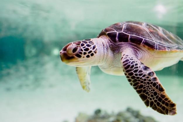 Pequeña tortuga marina -chelonioidea- nadando dentro de un mar poco profundo.