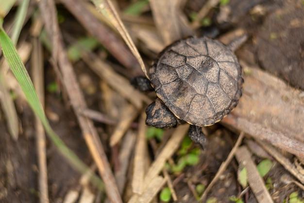 Pequeña tortuga recién nacida arrastrándose hacia el río