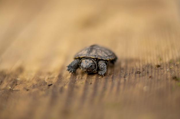 Pequeña tortuga recién nacida arrastrándose sobre una tabla de madera