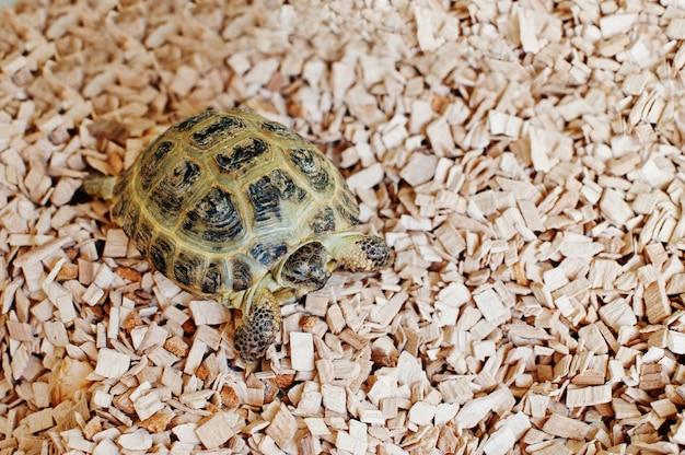 Pequeña tortuga terrestre asiática en astillas de madera.