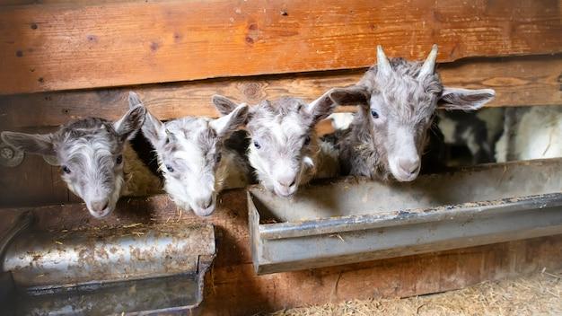 Pequeñas cabras en un establo que produce leche de oveja