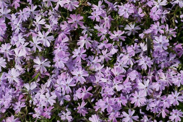 Pequeñas flores purpúreas claras en el jardín en el bosque. decoración de jardín sencilla y bonita.