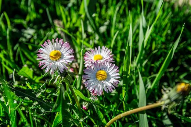 Pequeñas margaritas hermosas en el campo en un día soleado de primavera. de cerca. espacio para texto.