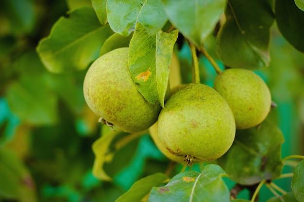 Pequeñas peras frescas y de jugo en las ramas verdes en una cosecha de jardín de verano. fruta .