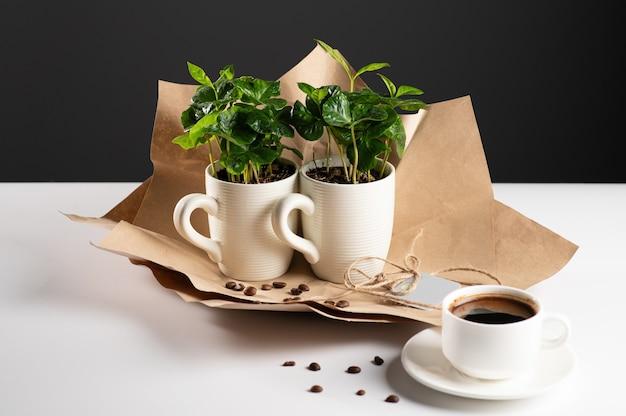 Pequeñas plántulas de cafeto en una taza blanca