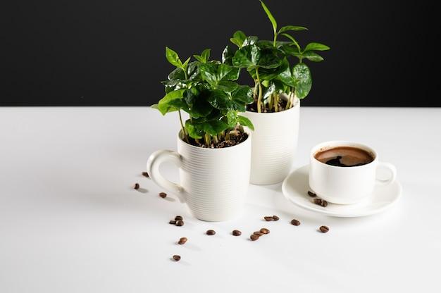 Pequeñas plántulas de un cafeto en tazas blancas