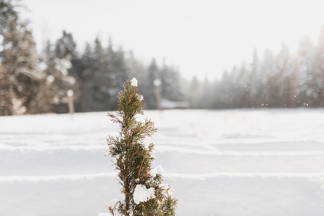 arbol de hoja perenne fotos y vectores gratis