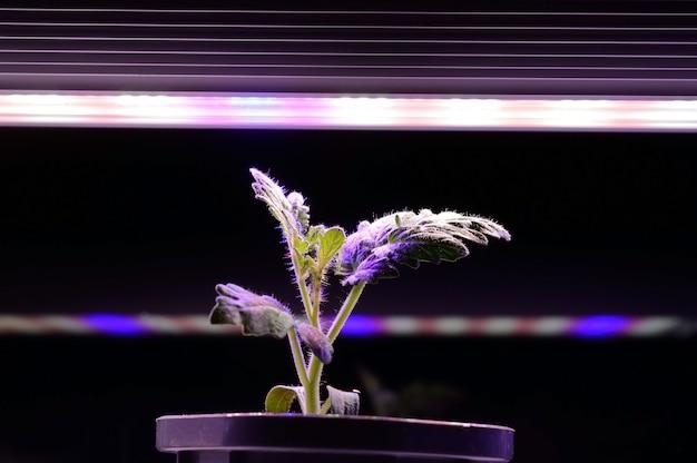 Un pequeño brote en una maceta a la luz de un phytolamp. de cerca.