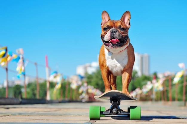 Pequeño bulldog francés cabalgando sobre la tabla larga