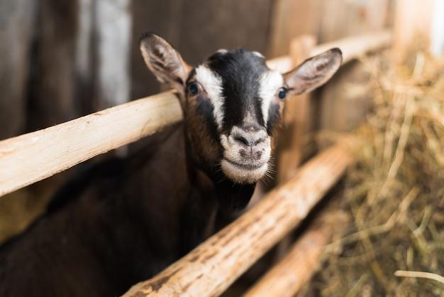Pequeño cabrito dentro de una granja. cabra sin cuernos junto a la valla de madera y con mucho heno.