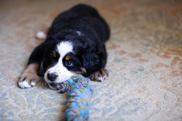 Pequeño cachorro de perro de montaña de bernese tirado en el suelo y jugando con juguetes.