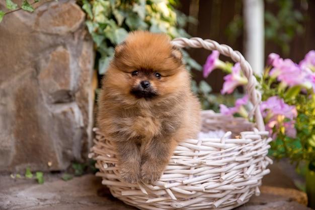 Pequeño cachorro de pomerania. lindo cachorro esponjoso