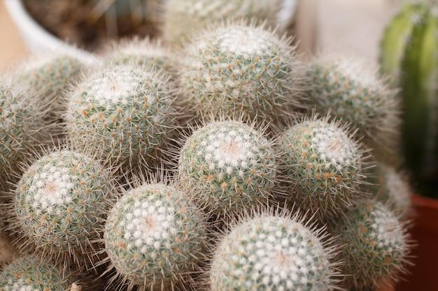 Pequeño cactus en macetas.