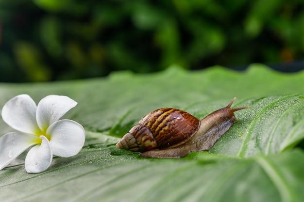 Un pequeño caracol de achatina que se arrastra sobre una hoja verde con una hermosa flor de magnolia blanca entre el jardín verde