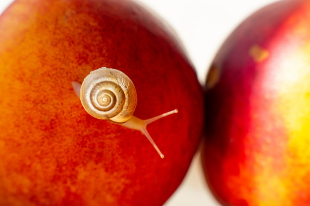 Pequeño caracol arrastrándose sobre nectarinas rojas maduras
