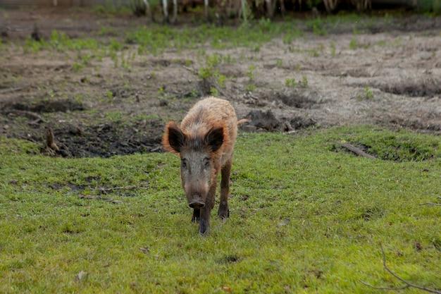 Pequeño cerdo salvaje felizmente pastando en la hierba.