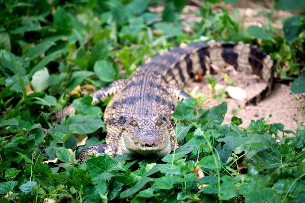 Pequeño cocodrilo escondido en la hierba verde