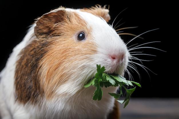 Un pequeño conejillo de indias se alimenta de hojas de perejil.