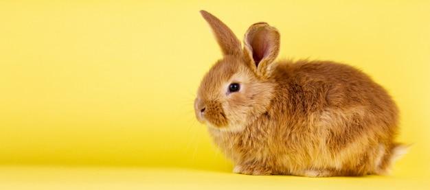 Pequeño conejo animado de pascua en una pared amarilla. conejo esponjoso rojo sobre una pared amarilla