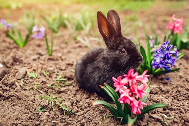 Pequeño conejo negro sentado entre flores de primavera en el jardín