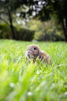 Pequeño conejo de orejas caídas se sienta en el césped en el parque. ram enano de la raza del conejo en el sol de la puesta del sol. día caluroso de verano.