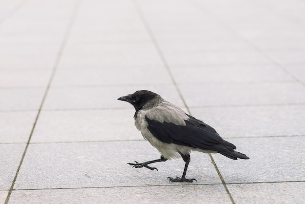 Pequeño cuervo negro camina sobre la acera gris con copyspace. pavimento con cuervo pequeño. pasos del pájaro salvaje en cierre del asfalto para arriba. animal depredador de la fauna de la ciudad.