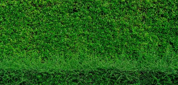 Pequeño fondo de textura de hojas verdes con patrón hermoso. planta ornamental en el jardín. eco wall. fondo natural jardín tropical