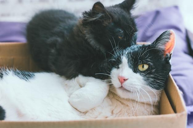 Pequeño gatito gris juega con gato viejo blanco y negro