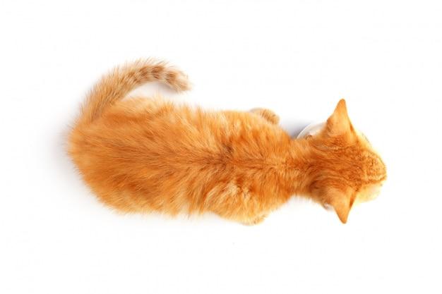 Pequeño gatito de jengibre come comida para gatos de un tazón.