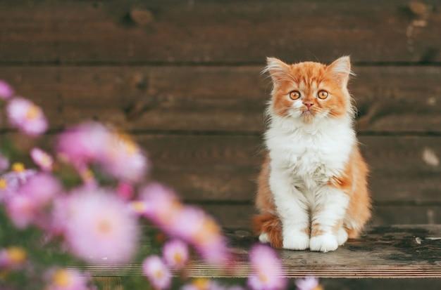 Pequeño gatito jengibre esponjoso se sienta en flores de color rosa sobre un fondo marrón de madera