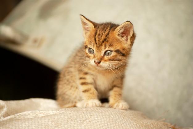 Pequeño gatito jengibre sentado