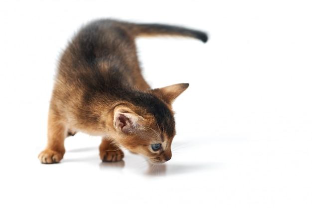 Pequeño gatito marrón con ojos azules. foto de estudio sobre una espalda blanca