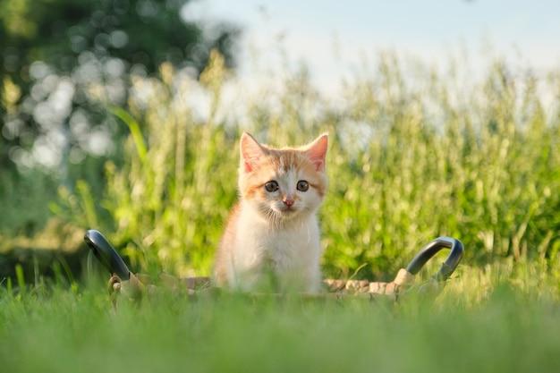 Pequeño gatito mullido rojo lindo en cesta en hierba verde soleada