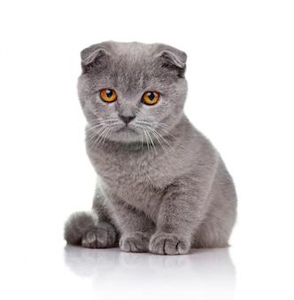 Pequeño gatito de orejas caídas aislado