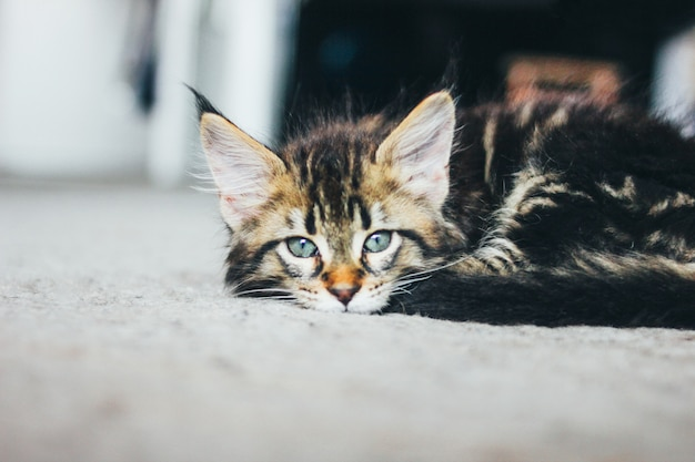 Pequeño gatito rayado gris acostado en el piso y mirando a la cámara