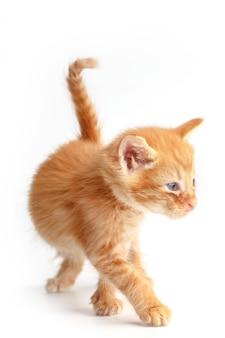 Pequeño gatito rojo lindo con ojos azules