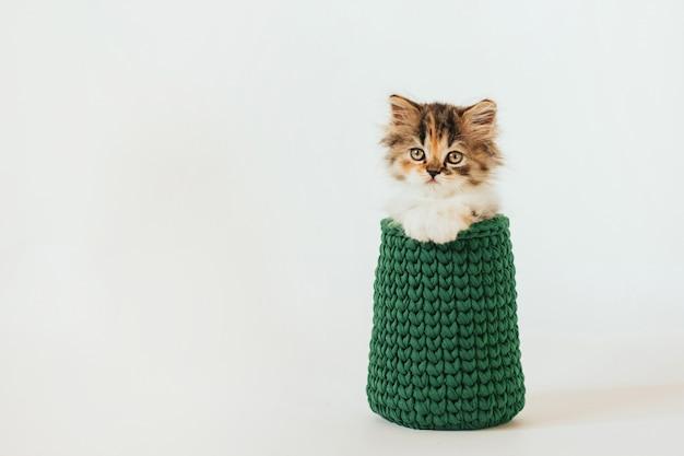 Pequeño gatito tricolor se sienta en un jarrón de punto verde