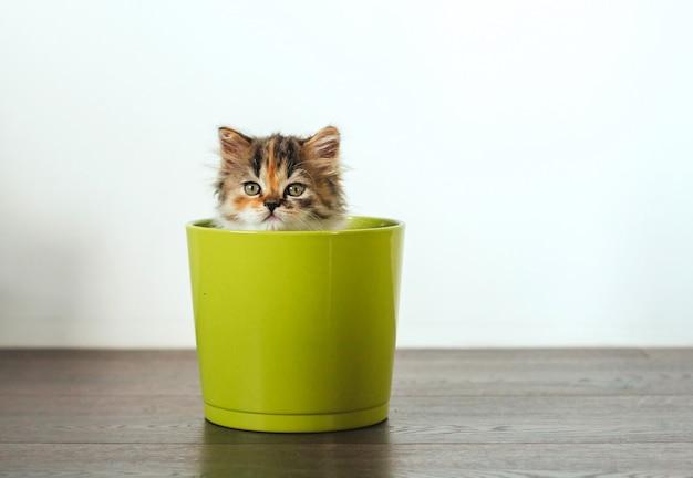 Pequeño gatito tricolor se sienta en una maceta verde