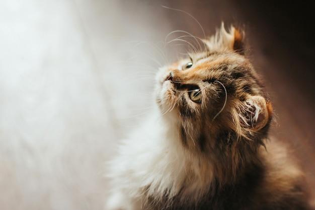 Pequeño gatito tricolor se sienta y mira