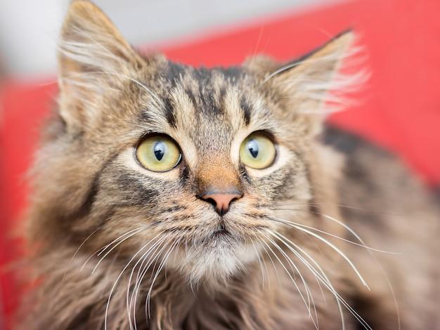 Un pequeño gato esponjoso mira hacia arriba. retrato de un gato sobre un fondo rojo.