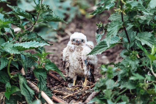 Pequeño halcón en la hierba