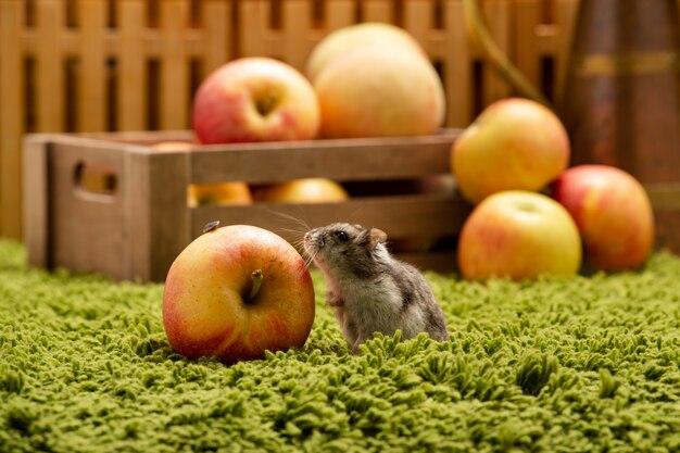 Pequeño hámster lindo con manzana. pequeño hámster doméstico