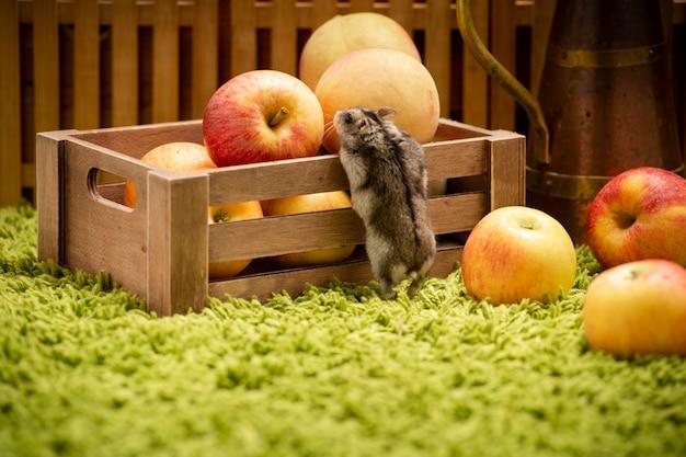 Pequeño hámster lindo con manzanas